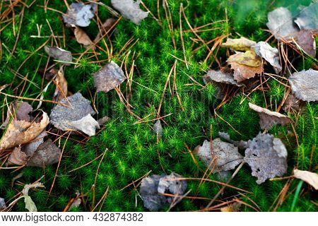 Defocus Green Moss Among Dry Old Leaves In The Forest In The Fall. Closeup Of Vibrant Green Moss Gro