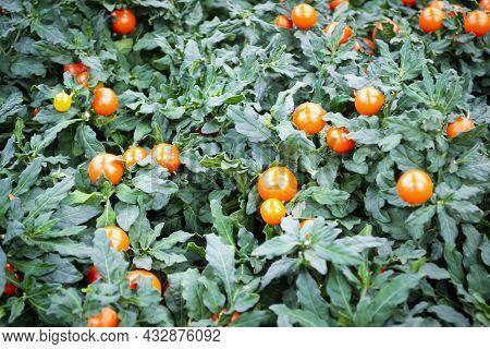 Potted Winter Cherry Plants Or Jerusalem Cherry Solanum Pseudocapsicum, Nightshade With Orange Fruit
