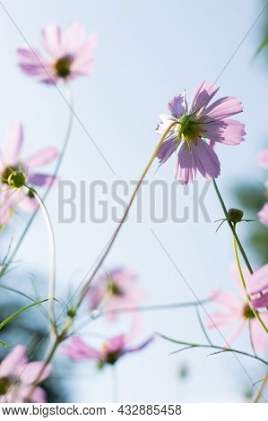 Blurred Image Of Pink, Summer Flowers Against A Blue Sky.