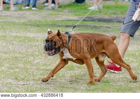 Boxer With Docked Tail. The Dog In Front Also Has Cropped Ears. Big Brown Dog Walks On Leash. Select