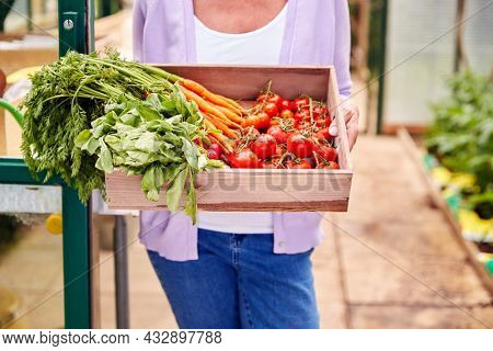 Close Up Of Senior Woman Holding Box Of Home Grown Vegetables In Greenhouse