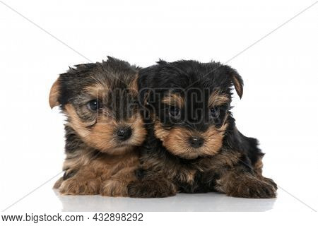 two little yorkshire terrier dogs cuddling each other and looking away on white background