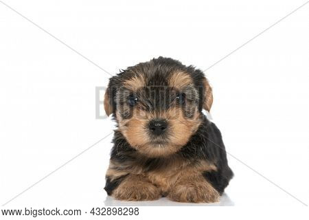 adorable yorkshire terrier dog looking at the camera and laying down against white background