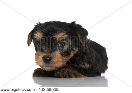 little yorkshire terrier dog laying down against white background and looking at the camera