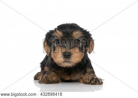 adorable yorkshire terrier dog laying down and looking at the camera against white studio background