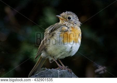 A Small Young Robin Perches On A Stone And Looks Backwards