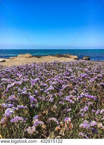 Limonium Sinuatum Winged Mediterranean Sea Lavender Growing Wild In Cyprus Seashore. Wonderful Coast