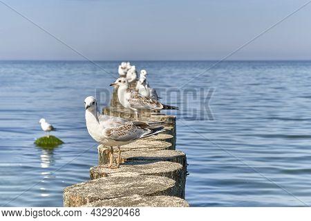 Seagulls On Wooden Breakwaters On Baltic Beach Of Svetlogorsk. Close Up. Beautiful Seascape.
