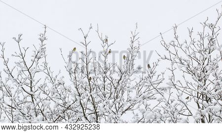 Great Tits Birds Perched On Tree Covered With Snow In Winter