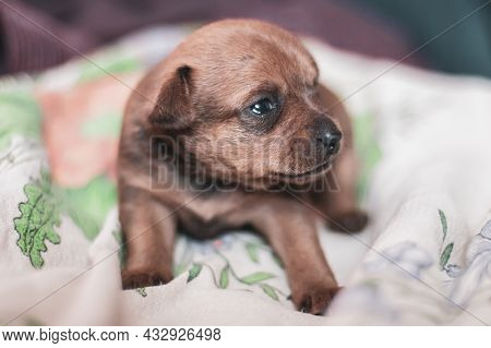 A Toy Terrier Puppy Lies On A Cloth With A Sad Look. Head Turned To The Side. Selective Shallow Focu