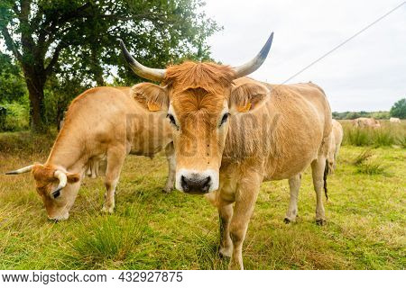 Limousine Cows. Cattle In French Prairie. Brown Cows Of French La Maraishine Cattle Breed Graze Past