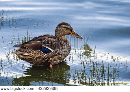 Wild Motley Waterfowl Duck On Lake Water Close-up With Copy Space. Birds And Animals In Wildlife Con