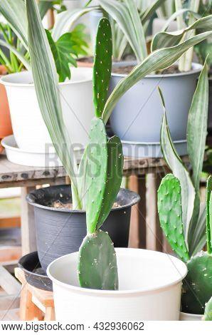 Cactus In The Flower Pot, Opuntia Plant
