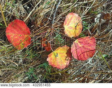 Four Red Aspen Leaves Lie On The Grass. Signs Of Autumn. Changing Seasons. Dry Leaves. Autumn Came.