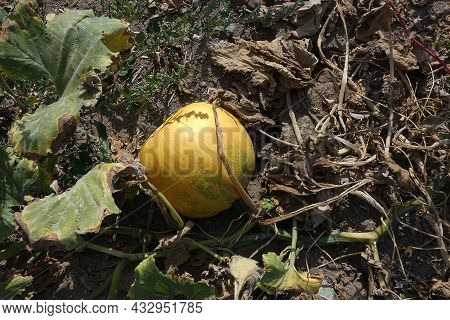 Maturing In The Fields Of Pumpkins, Pumpkin Seed Harvest Time,