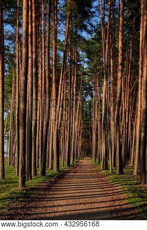 A Coastal Alley Of Tall Pines In The Evening Sun. Shadows From Trees On The Path Of The Alley