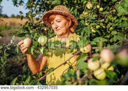 Senior Woman Picking Ripe Organic Apples In Summer Orchard. Farmer Checking Fruits Hanging On Branch