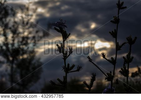 Silhouette Of Common Chicory At Sunset. Focus On Flower, In The Background Is Meadow And Sky With Cl