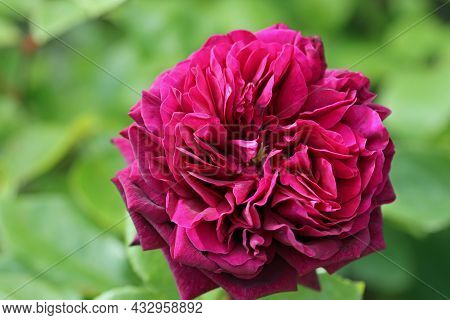 Red Rose Flower, Rosa Species Of Unknown Variety, In Close Up With A Background Of Blurred Leaves.
