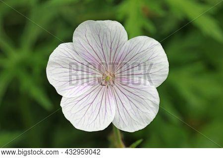 White Cranesbill Flower With Violet And Purple Veined Petals, Of Unknown Geranium Species, In Close