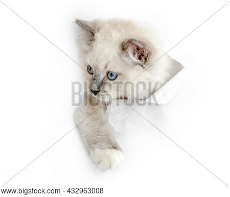 Funny beautiful ragdoll cat looks through ripped hole in white paper backgroud. Purebred domestic feline pet with incredible blue eyes portrait