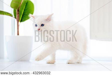 Lovely fluffy white ragdoll cat walking in light room and looking back with beautiful blue eyes. Adorable purebred feline pet outdoors