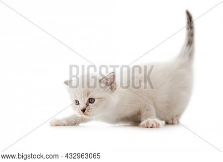 Adorable fluffy ragdoll kitten isolated on white background. Lovely purebred fluffy kitty cat with tail up. Cute little feline pet