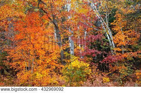 Bright Maple and Silver Birch trees in autumn time