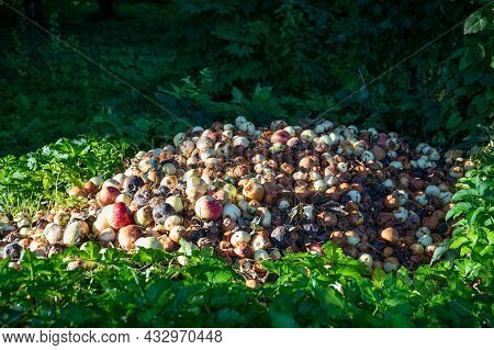 Stack With Rotten And Damaged Apples. Garden And Food Waste, Compost