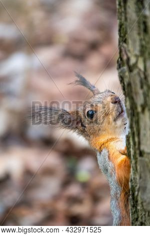 Portrait Of A Squirrel On A Tree Trunk