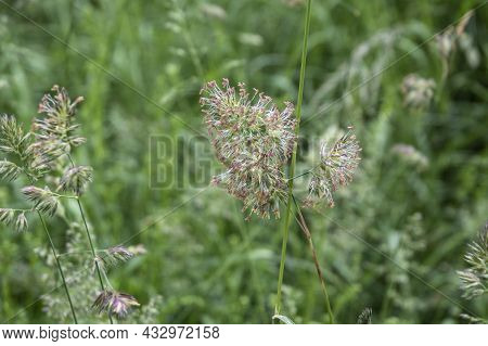 Close-up Of The Panicle Flower Of An Orchard Grass In A Meadow In Springtime