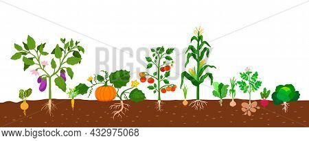 Harvest Of Vegetables Potatoes, Corn, Pumpkins, Tomatoes And Various Vegetables With Roots In The Gr