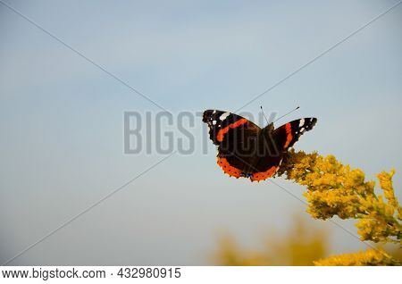 Fragile Beautiful Vanessa Atalanta. Red Admiral Butterfly Sits On Yellow Wildflowers On Background O