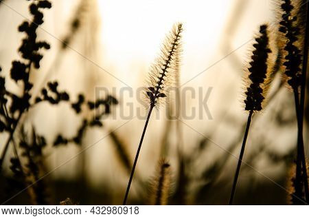 Selective Focus Inflorescences Of Dry Grass On Background Of Sunset With Copy Space. Silhouettes Of