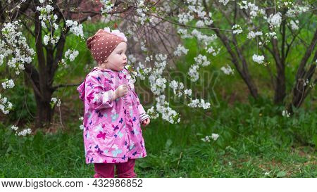 Baby Girl Sniffs White Cherry Blossoms In Spring.