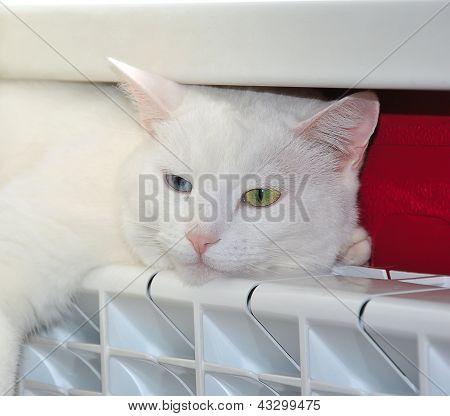 White cat basking in the heat radiator poster