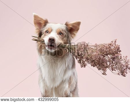 The Dog Holding Flowers In His Teeth. Happy Border Collie In Studio. Holiday Pet