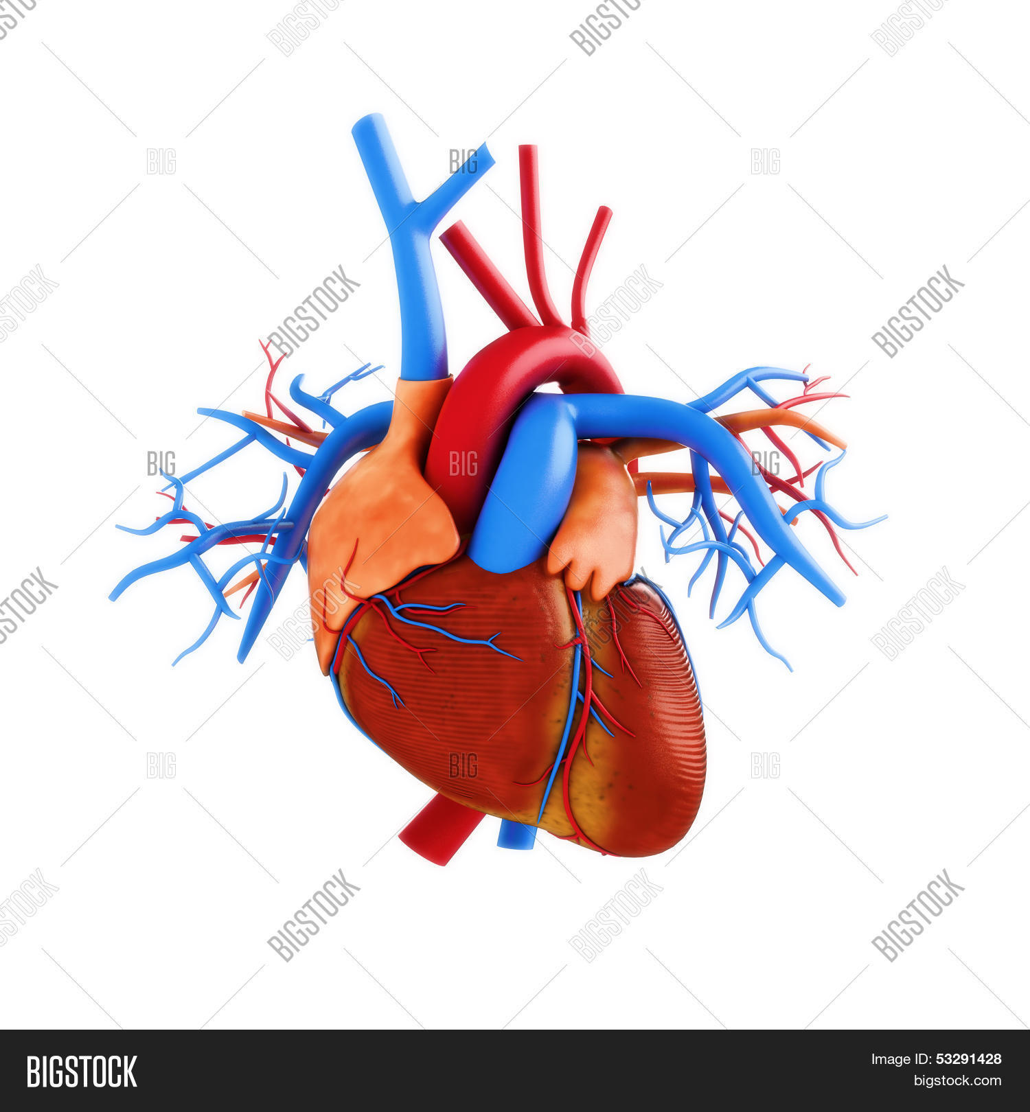 Human anatomy the heart