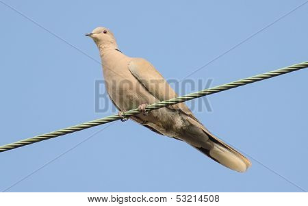 Eurasian Collared Dove Sitting On A Wire