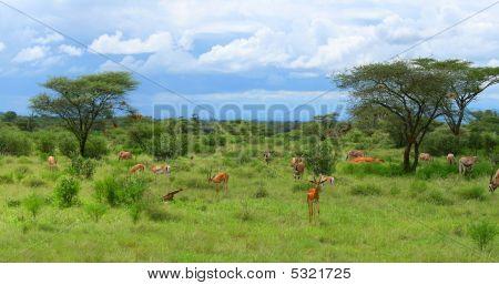 Wild impalas grazing. Africa. Kenya. Samburu national park. poster