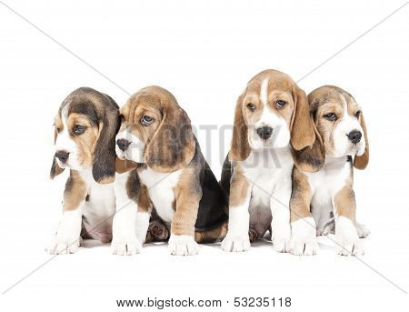 Four Beagle Puppy