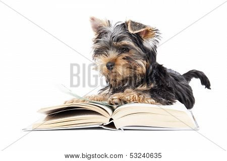 Yorkshire Terrier With A Book