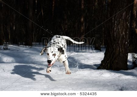 photo of the dalmatian dog jumping in the snow poster