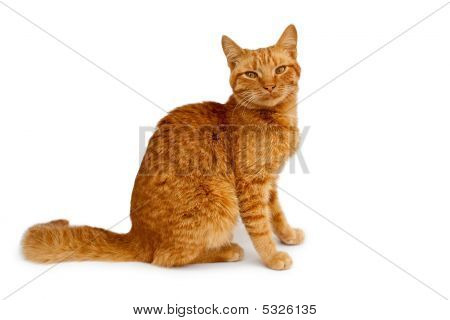 sitting red cat isolated on white background poster