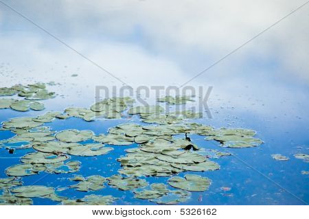 Lily Pads With Sky Reflection
