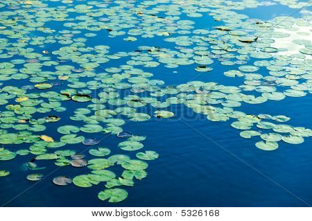 Lake Covered In Lily Pods
