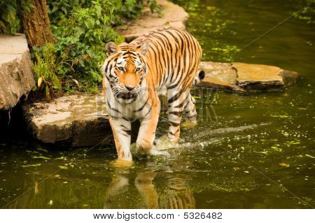 A majestic Bengal tiger wading in the water poster