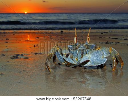 Ghost crab (Ocypode sp.) on the beach at sunset, Mozambique, southern Africa