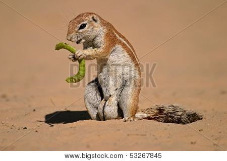 Ground squirrel (Xerus inaurus) feeding on a pod of a tree, Kalahari, South Africa