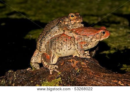 Mating red toads (Schismaderma carens), South Africa
